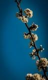 Mei-bloesem tegen een donkerblauwe hemel Stock Foto