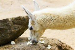 05 Mei 2013 - de Dierentuin van Londen - Lamalama in dierentuin in openlucht Stock Afbeelding