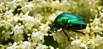 Mei-insect stock fotografie