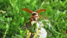 Mei-insect dat op een tak kruipt stock footage
