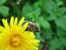 Mei-insect op de bloem Royalty-vrije Stock Afbeelding