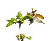 Mei-insect op de tak van boom   stock fotografie