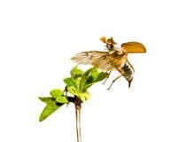 Mei-insect op de tak van boom stock foto
