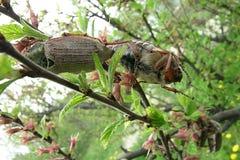 Mei-insecten op takken Stock Afbeeldingen