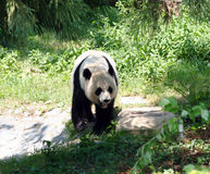 Mei Xiang Royalty Free Stock Image