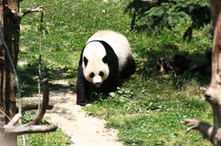 Mei Xiang. The female Giant Panda at the National Zoo in Washington DC royalty free stock photography