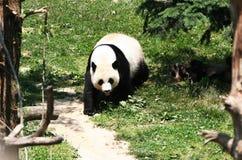 mei xiang Στοκ φωτογραφία με δικαίωμα ελεύθερης χρήσης