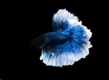 Meia lua de Betta que luta peixes bonitos perto acima fotografia de stock royalty free