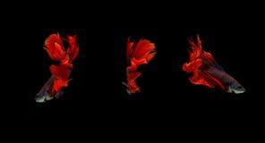 Meia lua de combate dos peixes de Redsiamese, peixe do betta isolado no preto fotos de stock royalty free