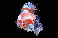 Meia lua Fishe de combate Siamese Fotografia de Stock Royalty Free