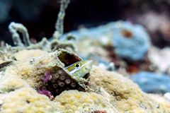 Striped Fang Blenny, Saltwater Fish - Sipadan Island, Borneo. Meiacanthus grammistes the striped blenny, also called the grammistes blenny, line-spot harptail royalty free stock image