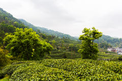 Meijiawu tea garden Royalty Free Stock Photos