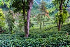 Meijiawu tea garden Royalty Free Stock Images