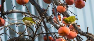Meijiro (японская птица) есть плодоовощ Kaki Стоковое Изображение RF
