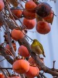 Meijiro (uccello giapponese) sull'albero da frutto del cachi Fotografie Stock Libere da Diritti