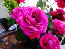 Meillandine Rosa Fotografia de Stock