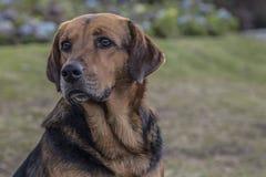 Meilleur ami du ` s d'homme de chien de familiaris- de lupus de Canis image stock