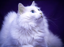 Meilleur de chat de race Images libres de droits
