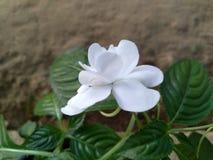 Meilleure fleur blanche sri-lankaise images libres de droits