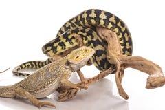 Meilleurs amis mignons de lézard et de serpent sur un fond blanc Images stock