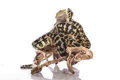 Meilleurs amis mignons de lézard et de serpent sur un fond blanc Images libres de droits
