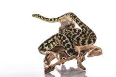 Meilleurs amis mignons de lézard et de serpent sur un fond blanc Photographie stock libre de droits