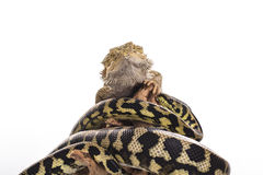 Meilleurs amis mignons de lézard et de serpent sur un fond blanc Photos libres de droits