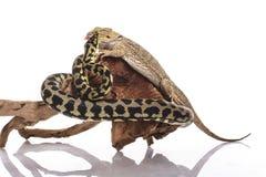 Meilleurs amis mignons de lézard et de serpent sur un fond blanc Photos stock