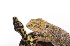 Meilleurs amis mignons de lézard et de serpent sur un fond blanc Photo libre de droits