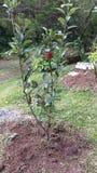 Mein erster Apfel Lizenzfreie Stockbilder