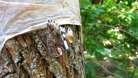 Mein Freund ist ein schönes Braunes und roter Schmetterling steht noch und wirft Sitzen auf der Barke eines alten Baums auf Nahau stock video footage