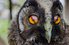 Mein kleines Baby OWL Pet! Stockfoto