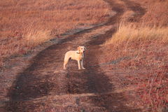 Mein Labrador retriever Lizenzfreie Stockbilder