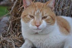 Meine foxy Katze in Polen Lizenzfreies Stockbild
