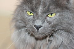 Meine Katze Pur Lizenzfreie Stockfotografie