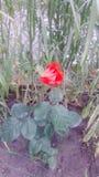 Meine kleine Rose Stockbild