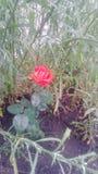 Meine kleine Rose Lizenzfreie Stockbilder