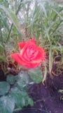 Meine kleine Rose Lizenzfreies Stockbild