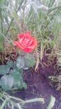 Meine kleine Rose Lizenzfreies Stockfoto