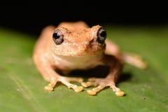 Meintein drzewna żaba Fotografia Royalty Free