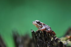 Meintein Tree Frog. Cute and colorful Meintein Tree Frog Royalty Free Stock Photography