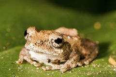 Meintein Tree Frog Stock Photos