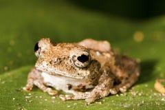 Meintein Tree Frog Stock Photos