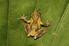 Meintein Tree Frog Royalty Free Stock Photos