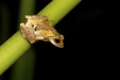 Meintein Tree Frog Royalty Free Stock Image