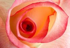 Meio da rosa vermelha e amarela da flor, close up Fotos de Stock