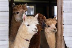 Meio horizontal de quatro alpacas de creme ou marrons bonitos que estão espreitando curiosamente imagens de stock royalty free