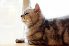 Meio retrato do gato cinzento do gato malhado bonito fotos de stock