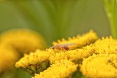 Meiosimyzavlieg op een Tansy Royalty-vrije Stock Foto