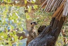 Meir Cats regarde quelque chose dans le zoo ouvert, Chonburi, photos stock